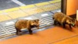 叡山電鉄の電車内に子ダヌキが2匹迷い込むwww