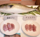 【ポリフェノールすごい】チョコを食わせたブリ、切り身にしても5日間変色せず 愛媛県が開発