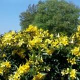 『庭のジャスミンが・・・』の画像