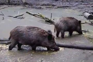 同等の大きさだったらツキノワグマより強い!?実は肉食!?頭骨はクマより大きい!?もはや日本には天敵のいないイノシシ・・・