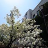 『造幣局桜の通り抜け 2017』の画像