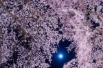 お月も顔出す、交野の夜空に満開の夜桜 ~交野さんぽ㉚~