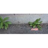 『庭や家とコンクリの間に生える草を除草剤で生えなくする時は、粒剤の除草剤をまくことをおすすめしたい。』の画像