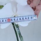 『大型の胡蝶蘭は1年おきに咲かせると花は巨大になる』の画像