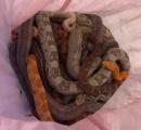 ヘビを詰め込んだ枕カバー、消防署前で相次ぎ発見 計29匹を保護 英