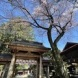 黒磯神社は桜満開