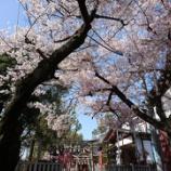 『通勤路🚲の桜並木🌸』の画像
