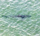 茨城の沿岸部でサメを16匹確認したけど、しらす漁の網を張ったから大丈夫 遊泳禁止は解除します