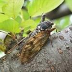 【研究】セミ成虫の寿命1週間は俗説!実際には地上に出てから1ヶ月くらい生きる。岡山の高3の研究が学会で最優秀賞