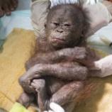 『脅威の回復力:オランウータンの子供たち』の画像