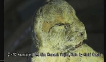 絶滅した謎の肉食獣「ホラアナライオン」 ロシアの永久凍土から見つかる