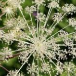 『シシウド:花火のような美しい花のネットワーク』の画像