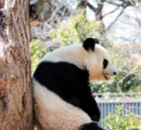 木にもたれて一休み 人気者のおばあちゃんパンダ /神戸・王子動物園