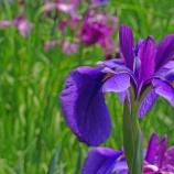 『[写真] 紫陽花寺 ―本土寺 3 ― (WX500)』の画像