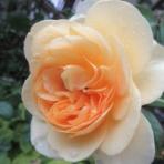 薔薇の香りに誘われて