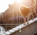 王者の風格!みすぼらしかった捨て犬がライオンに大変身