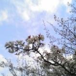 『桜、まだ。』の画像