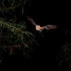 『南の島のコウモリ』の画像
