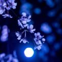 専称寺のしだれ桜【2019】