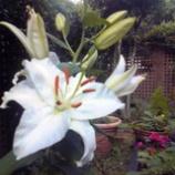 『咲きました。』の画像
