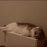 寝てる指原莉乃の猫に似てるものwww