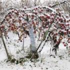 『雪見りんご』の画像