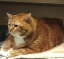【動画】アメリカの超ウルトラデブ猫、毎日腹筋して体重を激減させる!