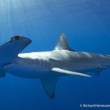 『あと少し!コスタリカのシュモクザメ大量殺戮阻止』の画像
