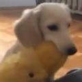 子イヌがお気に入りの「ぬいぐるみ」を運んでいた。がんばって階段を登る。うんしょ! → こうなっちゃう…