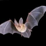 『コウモリはなぜ夜に飛ぶことを選んだのか』の画像