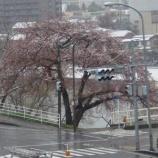『わが家の桜10 6』の画像