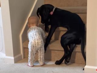 赤子にはまだ早かろう。階段をブロックし赤ちゃんを危険から守ろうとする犬