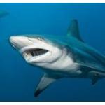 【画像】新種のサメがイギリスに出現!?