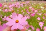 私市植物園で『コスモス』満開になってる!~お花畑でハイジ的気分が味わえる!~