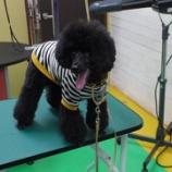 『スタッフ犬、黒プーのチュー太君ご来店!』の画像