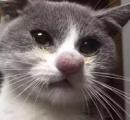 【画像】蜂との戦いに負けたにゃんこ、赤く大きく膨らんだ鼻と表情が話題に