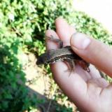 タダで捕まえたカナヘビちゃんの先月の食費wwwwwwww