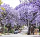 春爛漫 桜のように咲き誇る「世界三大花木」ジャカランダ