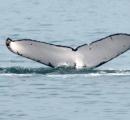 別府湾にザトウクジラ、巡視艇が遭遇 船の航行に注意を呼びかけ