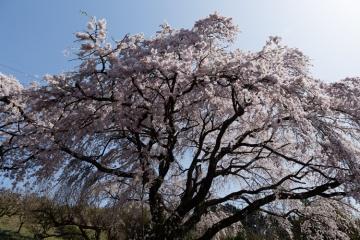 西吉野の桜【2018】