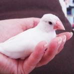 文鳥との生活雑記