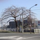 『わが家の桜(桜前線2008)』の画像