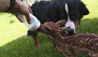 【親に置去にされた子鹿】足を怪我した子鹿を保護して野生に返すまでの記録