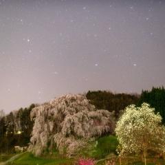 夜の又兵衛桜【2019】