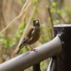 『カワラヒワ(河原鶸) ~庭に来る野鳥~』の画像