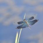蜻蛉散歩&模型日記★分室【自然観察トンボ・鳥】byフランクパパ