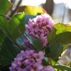 『戸外で冬越し出来るのはどの花?【茨城県北部のピノ子の庭便り】』の画像