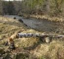【画像】ビーバー、自分の切り倒した木に押しつぶされて死ぬ