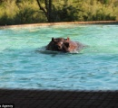 【画像】川が干上がりカバが水を求めてプールに侵入