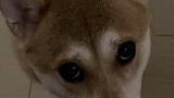 ワイ家の柴犬クイズwwwワオンwww(※画像あり)